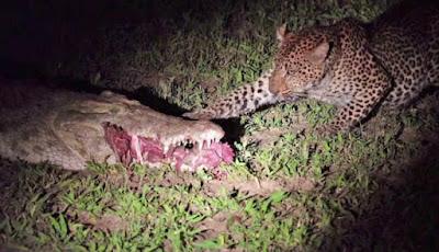 Macan tutul mencuri makanan dari mulut buaya
