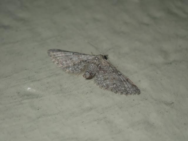 Eupithecia miserulata