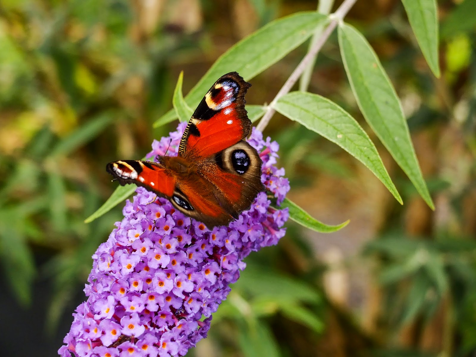 A butterfly sitting on a purple flower.