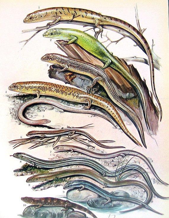 Salamandra | Características Gerais das Salamandras