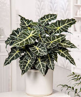 Plant with large green and white leaves in a white container. AFRICAN MASK PLANT (Alocasia Sanderiana)