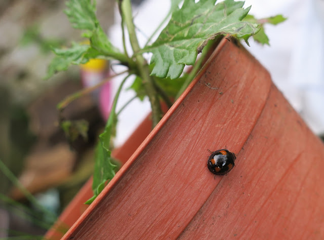 Harlequin ladybird on flower pot with groundsel. 1st November 2020.