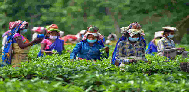 Assam government will give Rs 3,000 for eight lakh tea garden workers