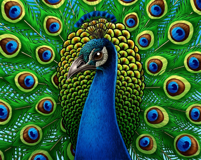About Peacock In Hindi 10 Points- Peacock Hindi Nibandh