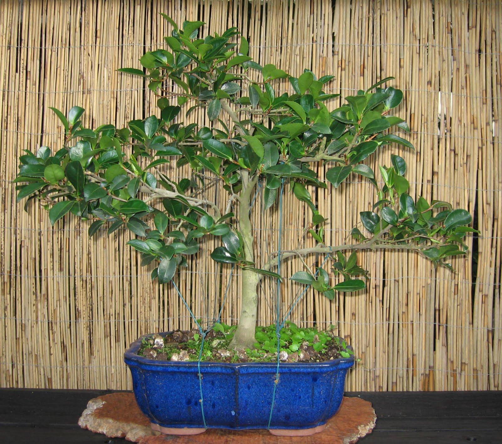 bonsai das sch nste hobby der welt kamelie schritt f r schritt zum bonsai. Black Bedroom Furniture Sets. Home Design Ideas