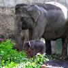 Gembira Loka Sambut Kelahiran Bayi Gajah