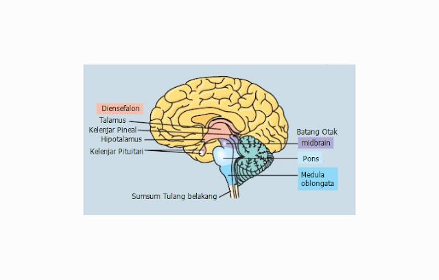 Pengertian, Struktur, Fungsi dan Bagian Diensefalon