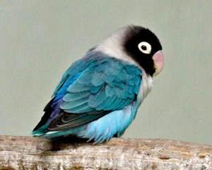 mengenal lovebird biru cobalt ciri ciri harga dan