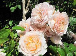 90 करोड़ का गुलाब
