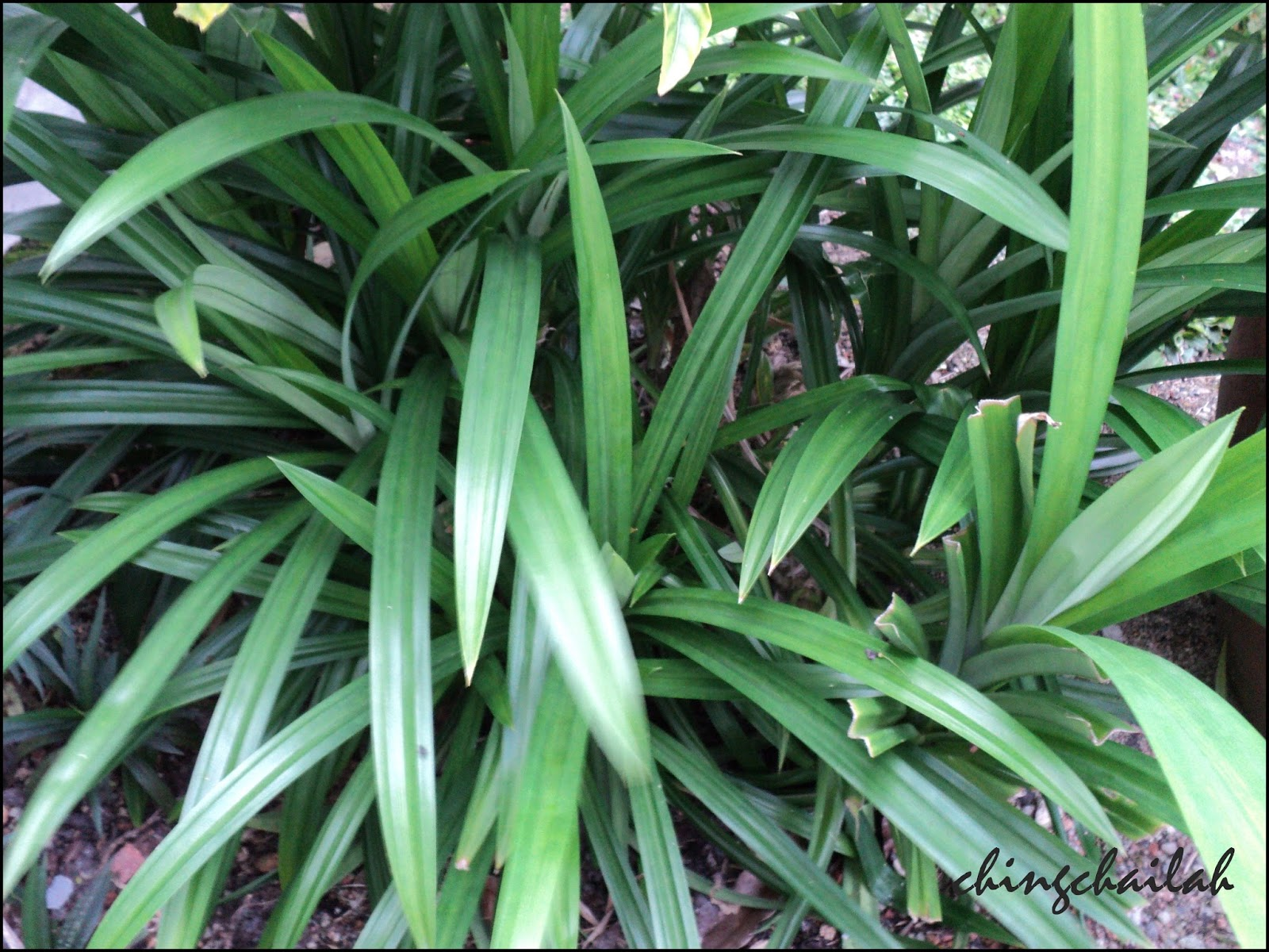 how to take care of pandan plant