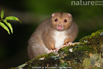 opossums world