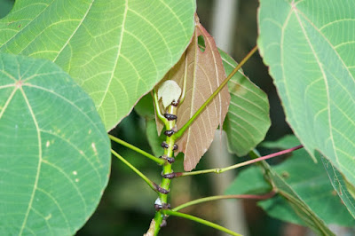 Common Mahang (Macaranga bancana)