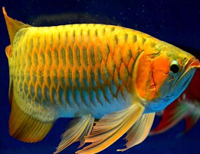 Pengertian Dan Definisi Ikan Hias