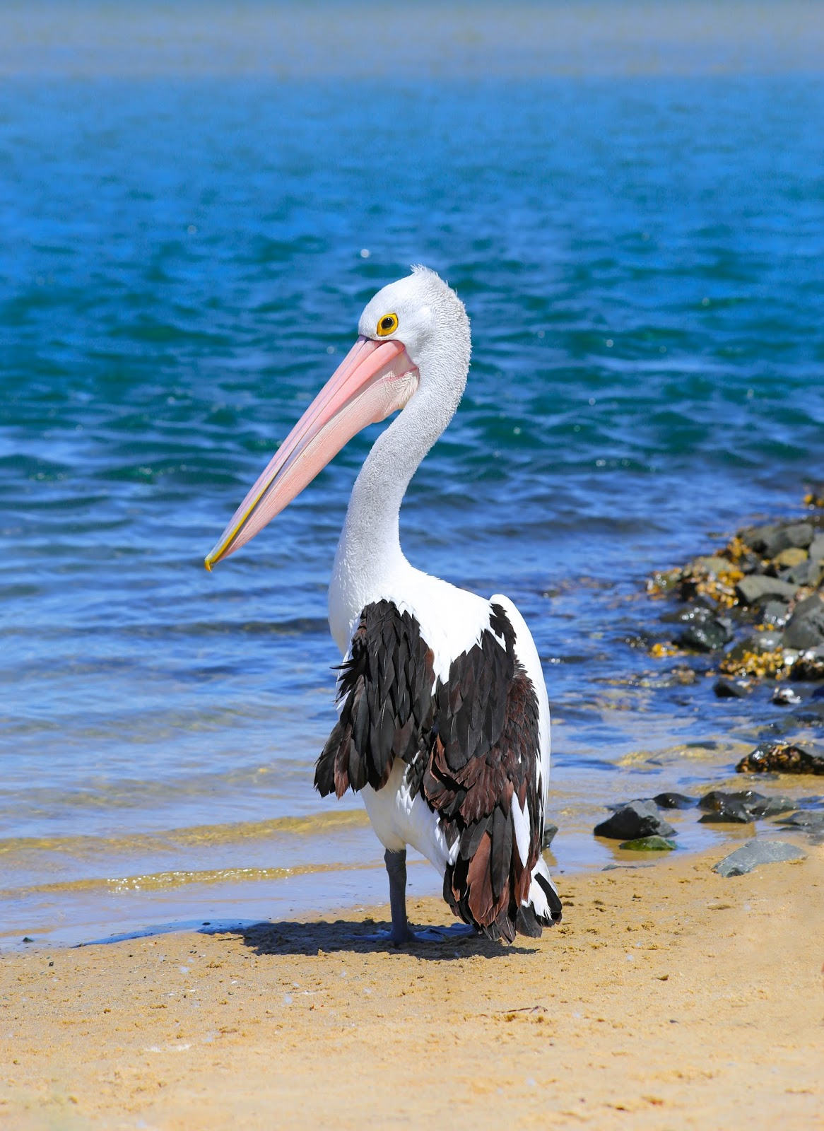Picture of a pelican bird.