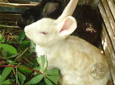 Masa kematangan seksual kelinci pada usia tiga bulan. Pada masa ini, mereka akan siap untuk kawin dan beranak.