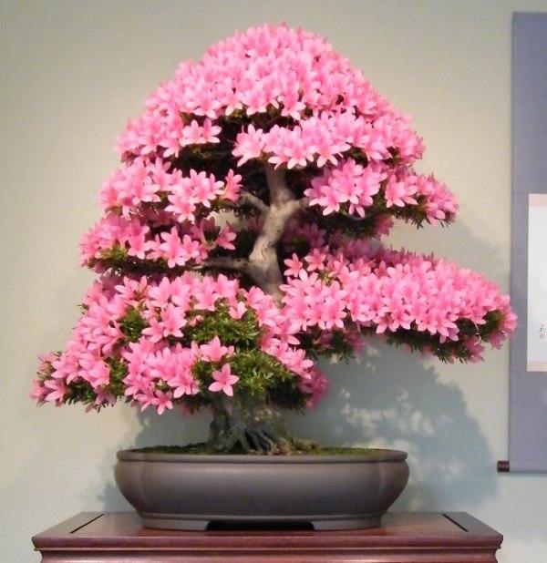 78+ Gambar Bunga Bonsai Paling Bagus