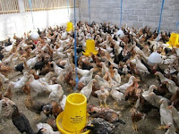 7 Kelebihan Ternak Ayam Kampung Super (Joper)