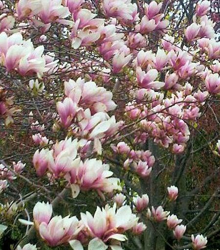 A guide to northeastern gardening spring flowering trees for Trees garden of jane delawney blogspot