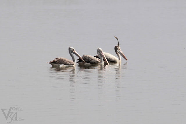 Spot-billed Pelicans along with Snake bird