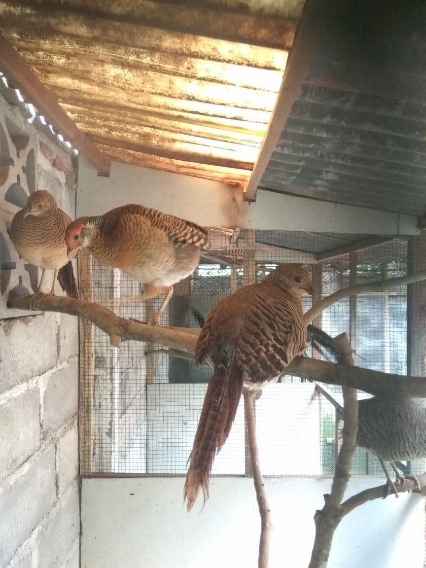 jual anakan golden pheasant