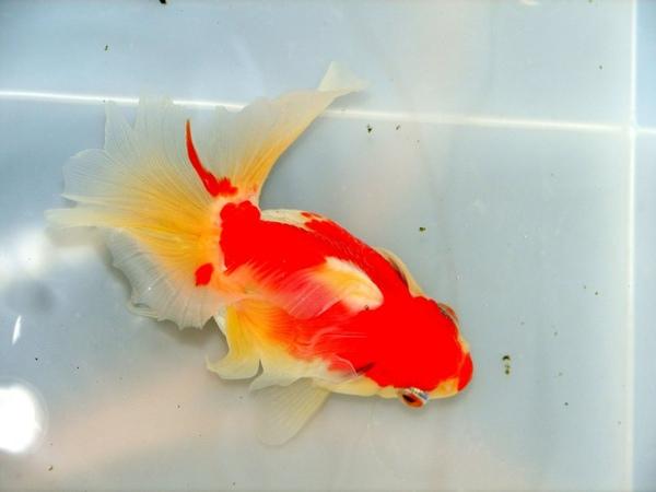 金魚 高知