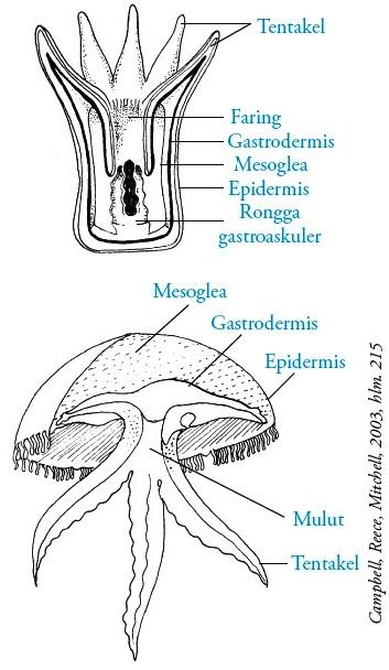 Struktur Tubuh Coelenterata : struktur, tubuh, coelenterata, Filum, Cnidaria, (Coelenterata), Pengertian,, Ciri-ciri,, Klasifikasi,, Reproduksi,, Contoh
