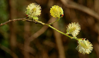 English: Pussy willow, Crawfordsburn Pussy willow catkins growing in Crawfordsburn Country Park. Date 17 April 2008 Source From geograph.org.uk Author Albert Bridge