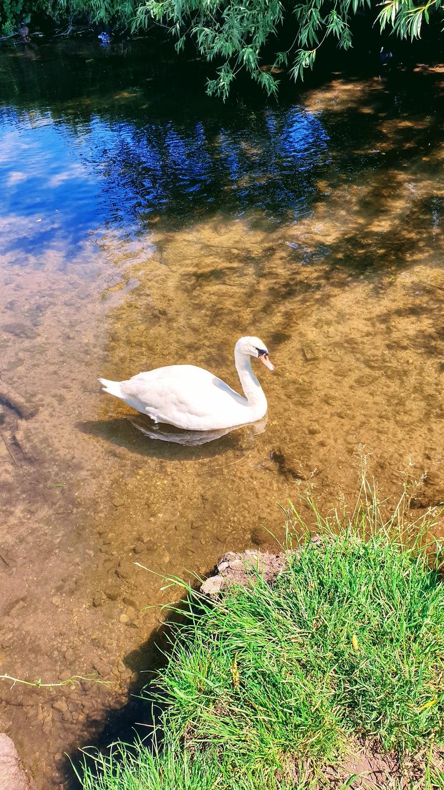 Swans on The River Meden