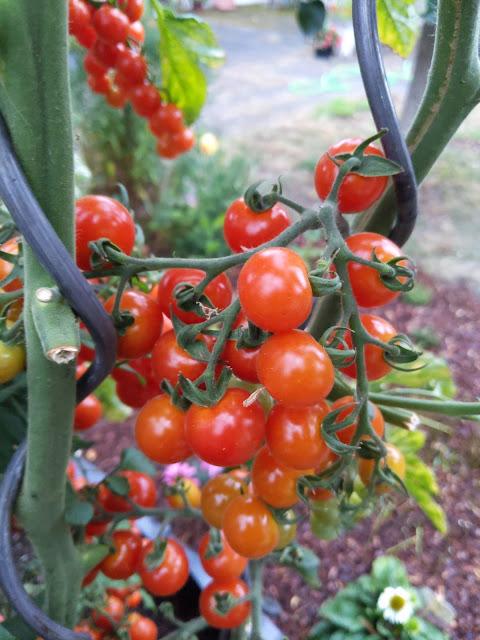 Tomatenstrauch mit reifen Tomaten