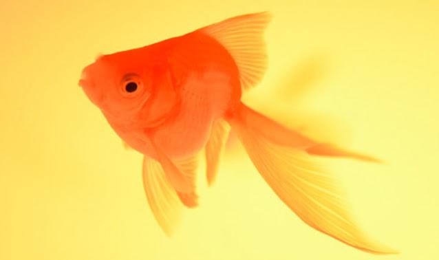 Layanan Supplier Jual Ikan Mas Hias & Bibit Bengkulu Terdekat
