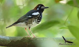 Burung Anis Kembang, Jenis Burung Berkicau