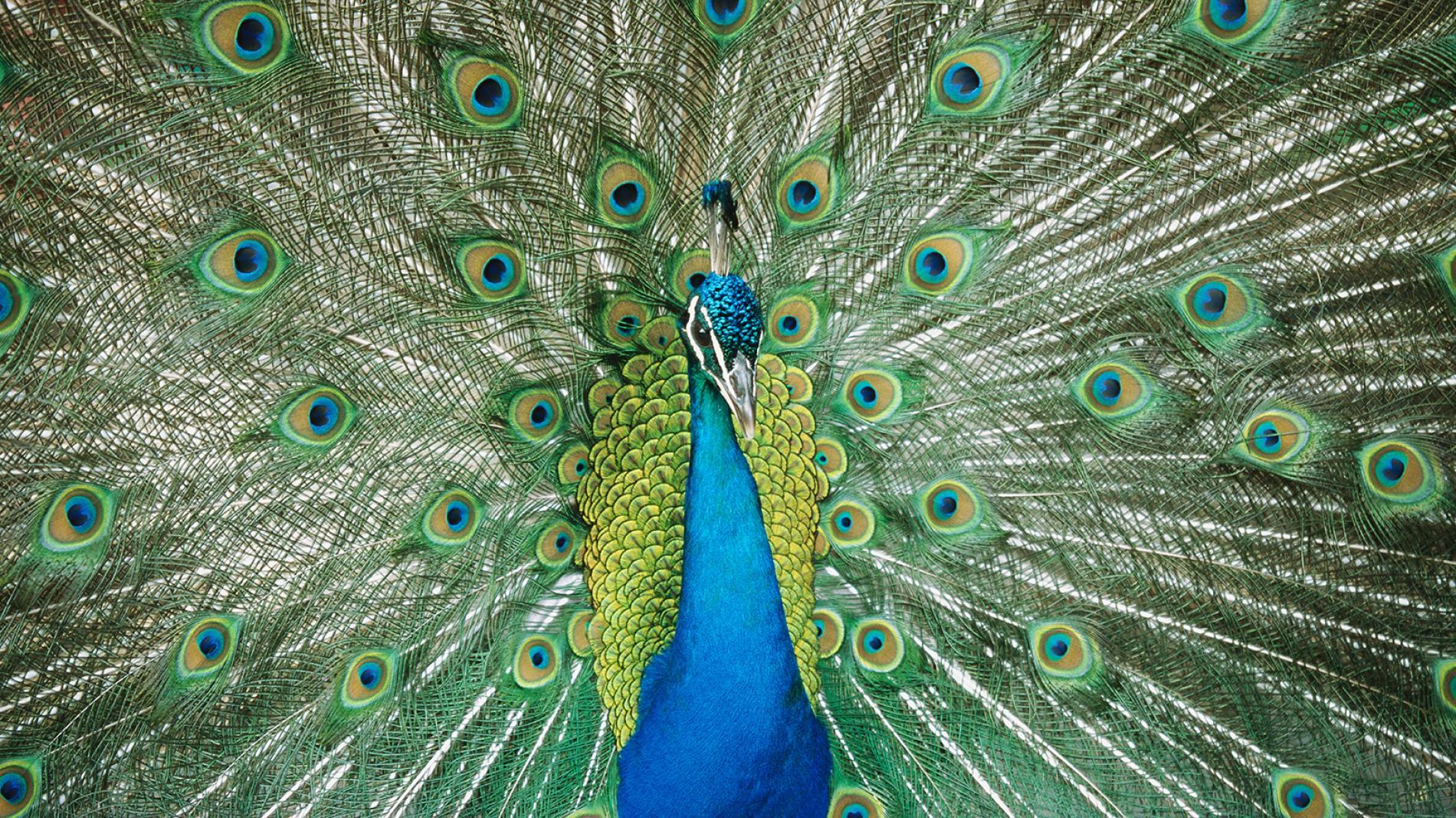 Plumas Pavo Real - Indian peafowl