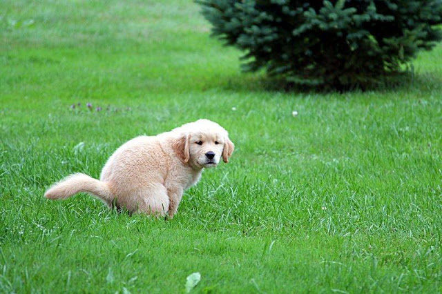 Why Do Dogs Look at You When They Poop?