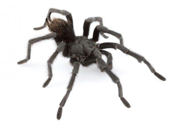 "A new species of tarantula named ""Johnny Cash"""