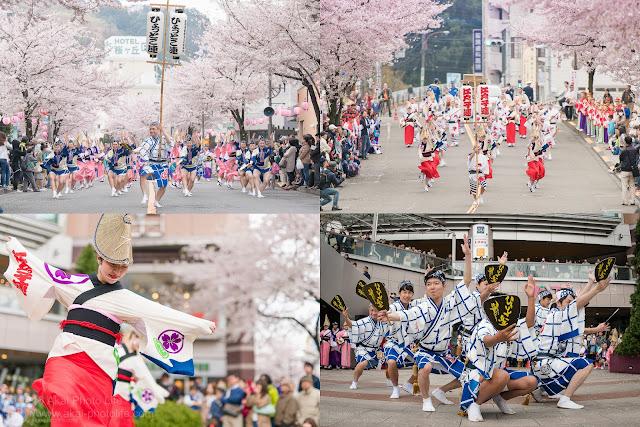 せいせき桜まつりで満開の桜並木のもと撮影した江戸っ子連とひょっとこ連の阿波踊り写真