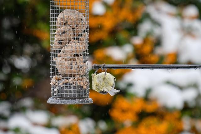 Blue Tit on a feeder, upside down, in winter.