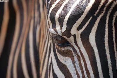 Ull de zebra