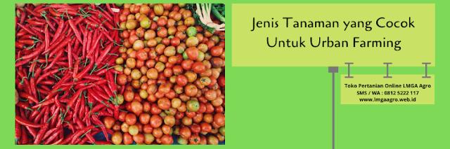 pertanian,urban farming,budidaya tanaman,cabe,tomat,lmga agro