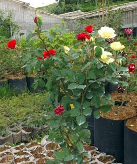 bibit-bunga-mawar-okulasi.jpg
