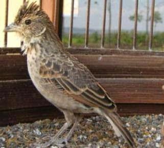 Info Tentang Burung Branjangan
