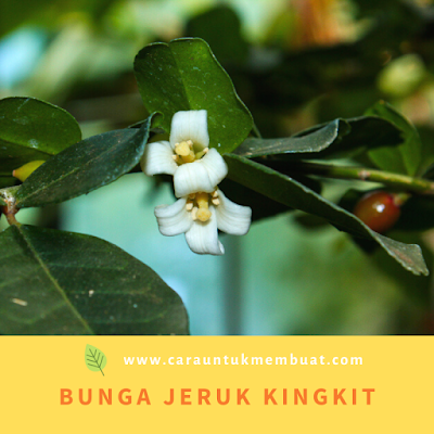 Bunga Jeruk Kingkit