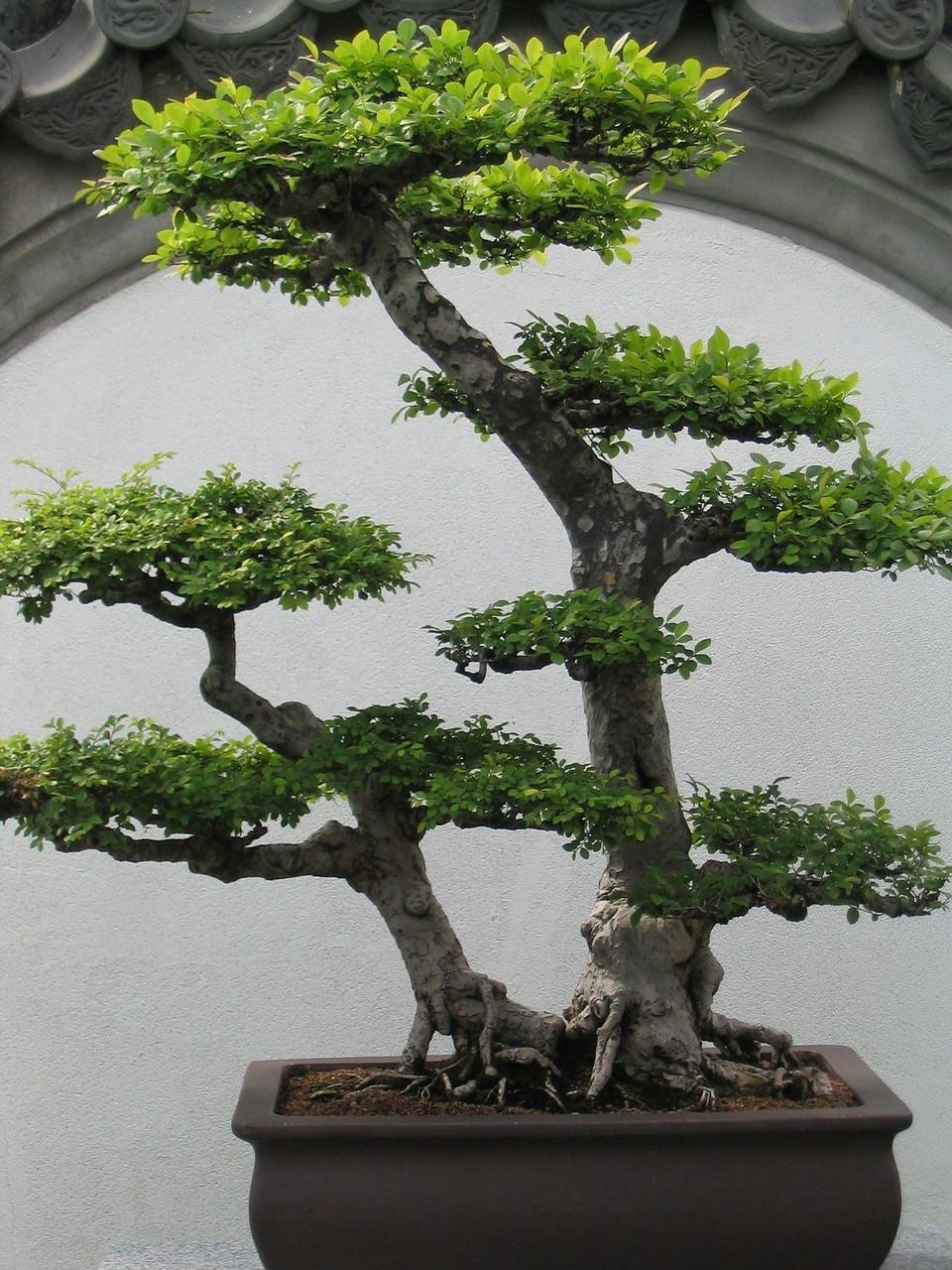 trik-menanam-bakalan-bonsai.jpg