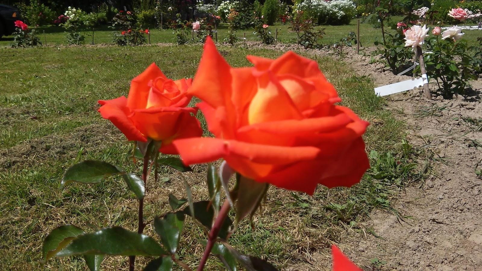 Роза моника на моей даче фото