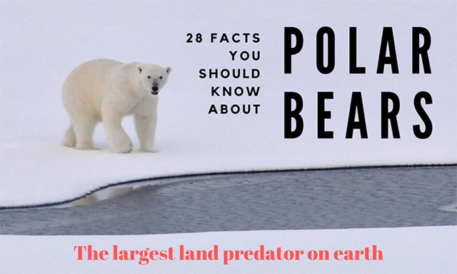 28 Amazing Facts You Should Know About Polar Bear