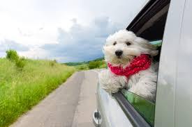 cães andando de carro