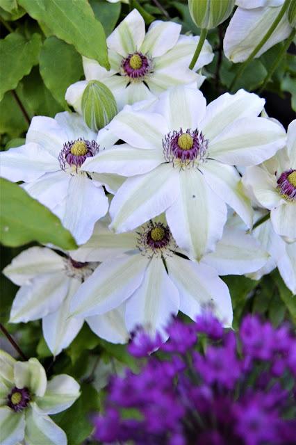 Klematis, utsprunget sammen med Allium