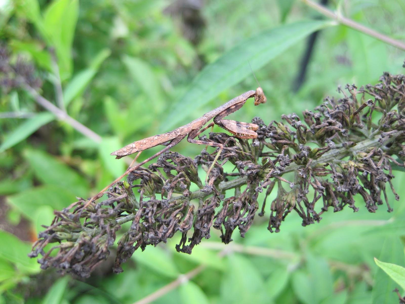 Wild Maryland 101 Amazing Maryland Bugs Carolina Mantis