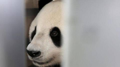 Penyebab Kematian Mendadak Panda Chuang Chuang Diungkap