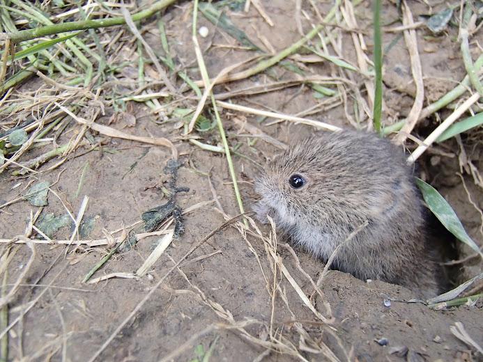 Orawa.Lipnica Wielka, Babia Góra, pisklę, myszka