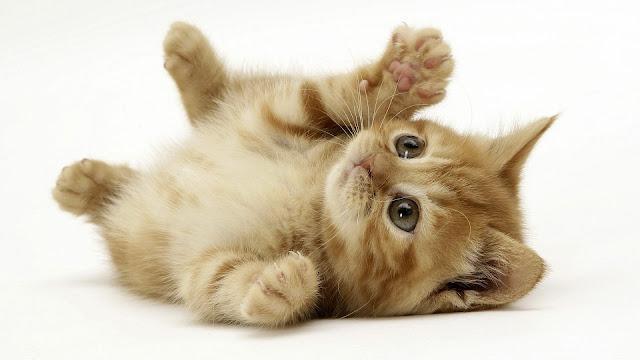 Bruin jong katje liggend op zijn zij